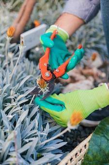 セキテイと花を切る男性庭師のクローズアップ