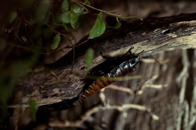 アフリカのゴキブリ