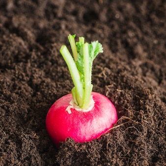 土壌で成長している赤いカブのクローズアップ