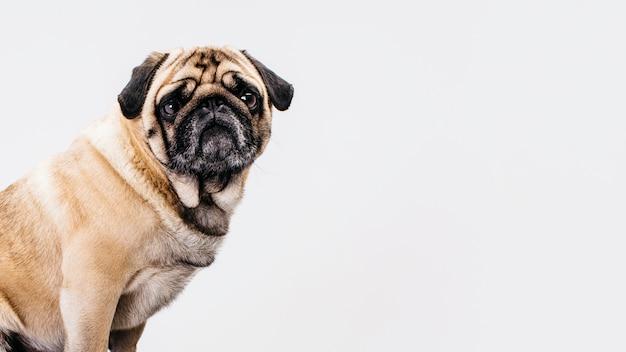 白い背景の上の犬