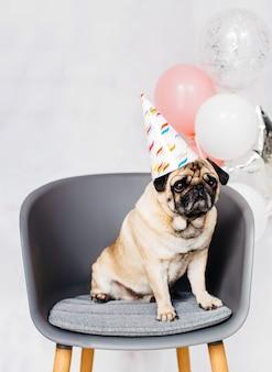 椅子に座ってお祝いキャップをパグします。