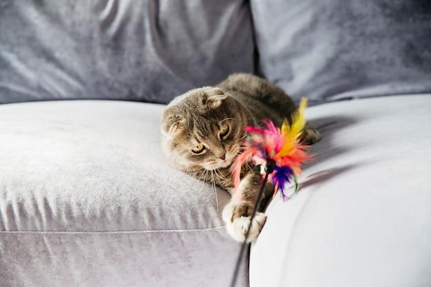 スコットランドの猫がソファの上の羽で遊んで
