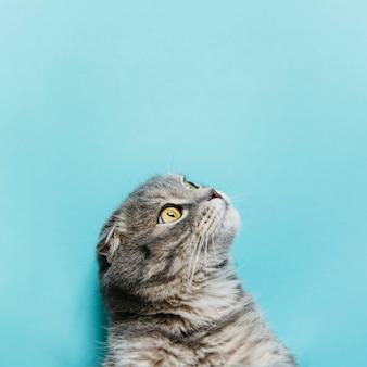 Шотландская вислоухая кошка на синей поверхности
