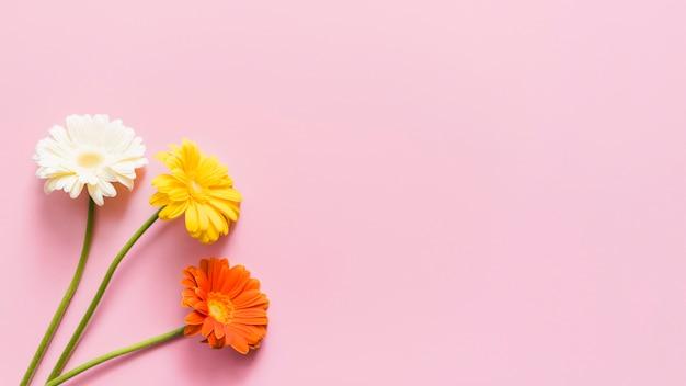 Декоративные красочные цветы ромашки на фоне