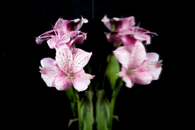 紫色のユリの花が黒の背景に反映