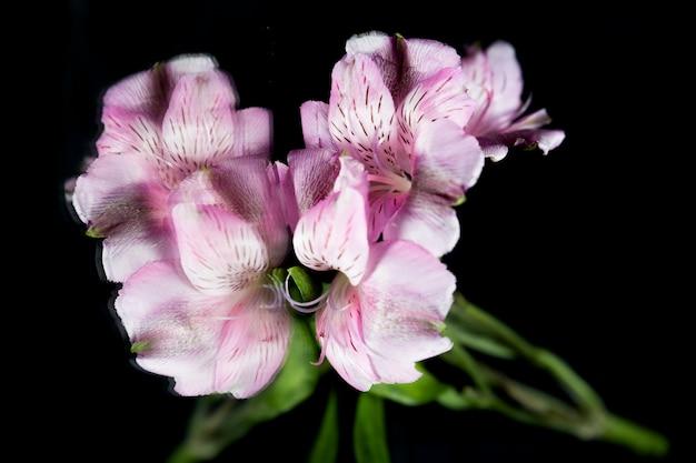 黒い背景に紫のユリの花の反射