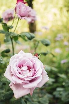 美しいバラの花のクローズアップ