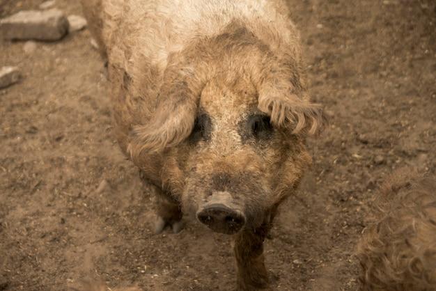 農場の豚肉