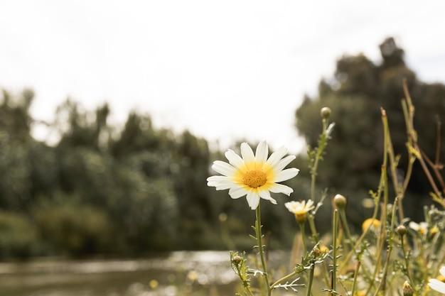 川の近くのデイジーの花