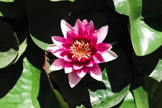 Группа водяных лилий и цветок