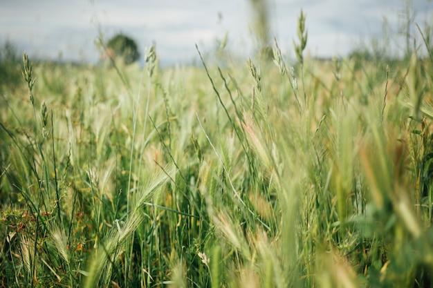 Крупным планом высокая трава на пастбище