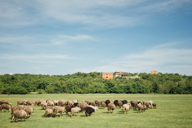 Длинный стадо овец ест траву на пастбище