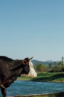 湖のそばのクローズアップ牛