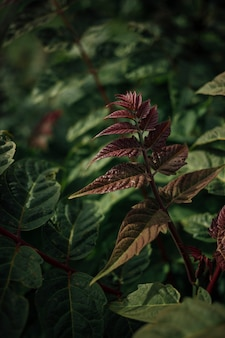 ブルゴーニュの葉を持つ植物のクローズアップ