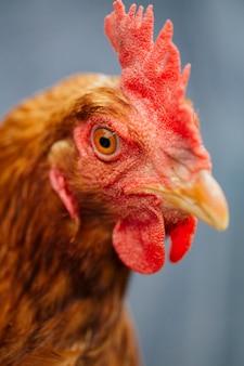 Крупный план курица в руках фермеров
