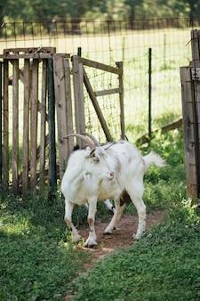 クローズアップ農場のヤギが馬小屋に入る