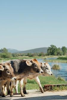 未舗装の道路を歩いてクローズアップ牛