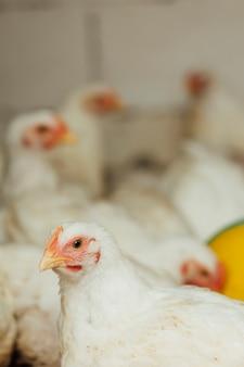 Крупный план курица в загоне