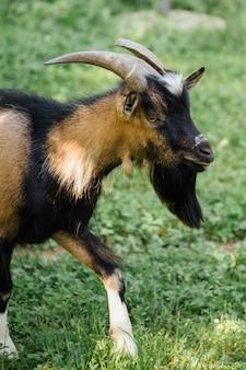クローズアップファームヤギの牧草地の上を歩く
