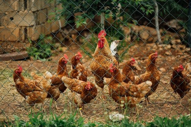 Курица среднего выстрела в загоне