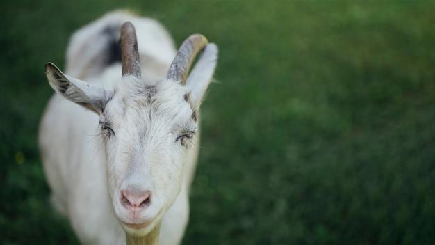 クローズアップファームヤギの牧草地