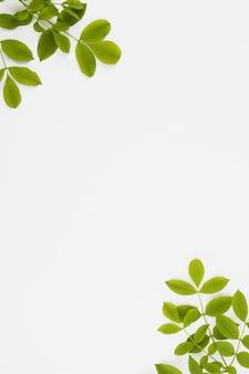 白い背景の隅に緑の葉の枝