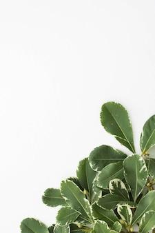 Зеленые листья на углу белого фона