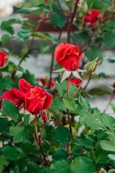 庭の赤いバラを閉じる