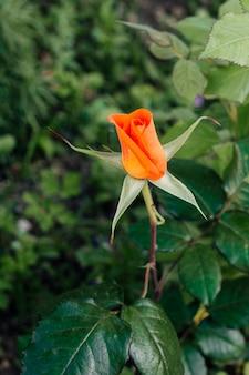 庭でオレンジ色のバラを閉じる
