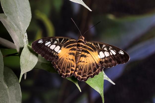 開かれた翼を持つ草原蝶