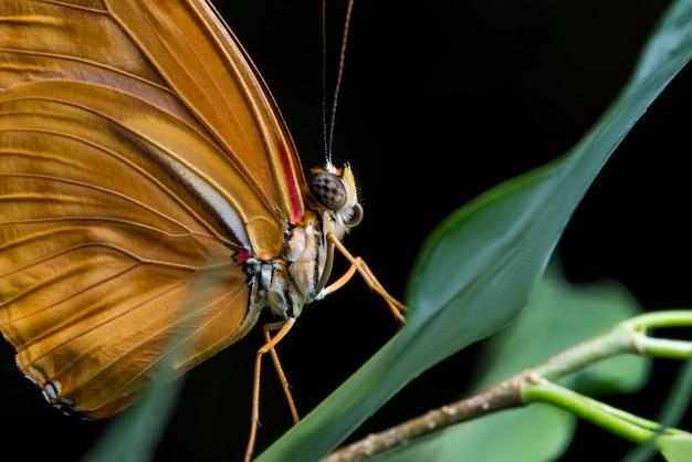 黒の背景とジュリア蝶を閉じる