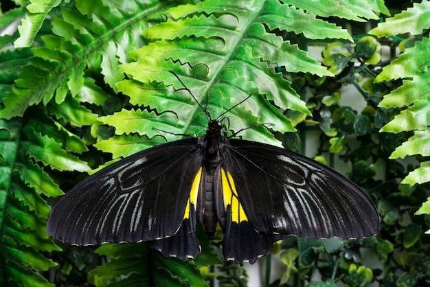 Вид сверху черная бабочка на тропических листьях