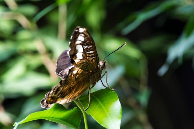 自然の生息地で壊れやすい蝶