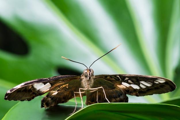 ぼやけて背景を持つ正面蝶
