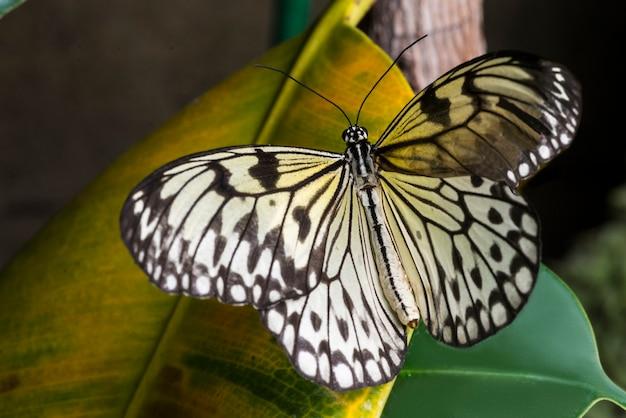 黄色の葉の上の淡い蝶