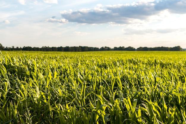 夕日にトウモロコシ畑と曇り空