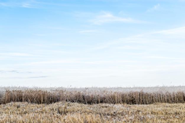Пшеничное поле с ясным небом на фоне