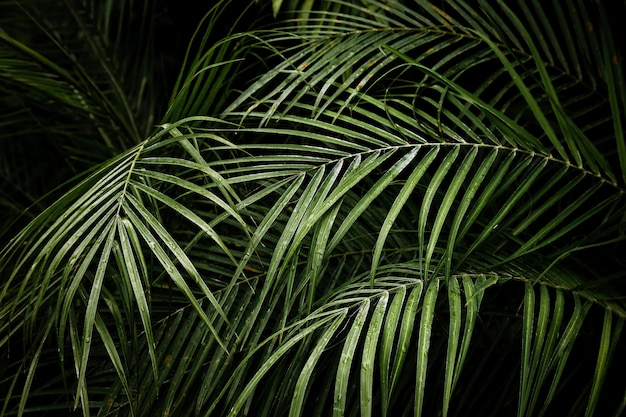 Красивые тропические листья пальмы ареки