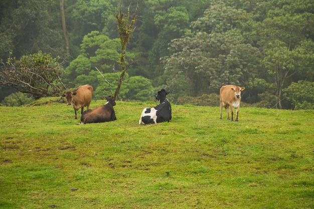 コスタリカの熱帯雨林の芝生のフィールドでリラックスしたカウズ
