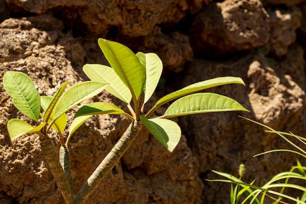 石のそばの小さな成長木
