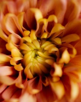 美しい菊マクロ