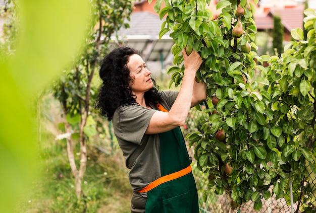 梨を収穫するロングショットの女性