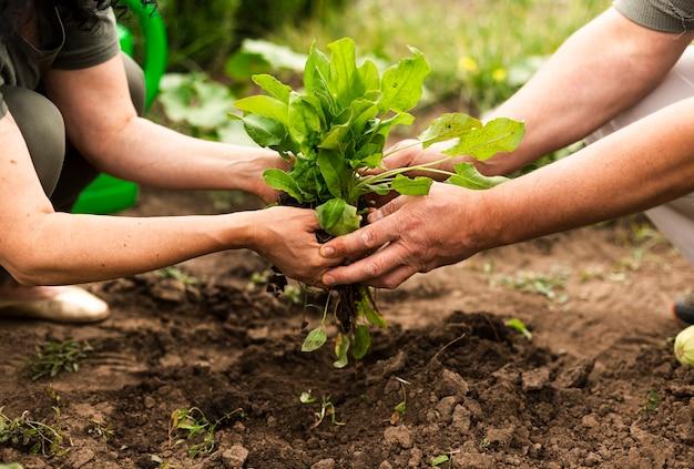 作物を収穫する年配のカップル