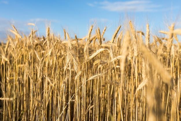 黄金の穀物と秋の風景