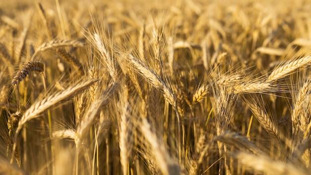 クローズアップ美しい黄金の穀物