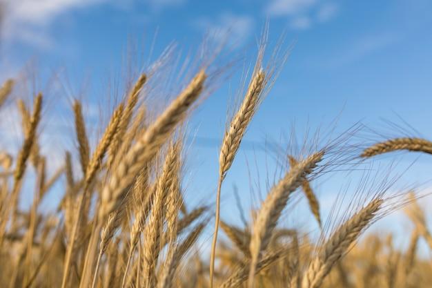 黄金の小麦の耳のある秋の風景