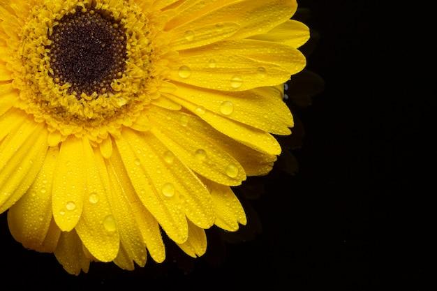 花びらとクローズアップの黄色のガーベラの花