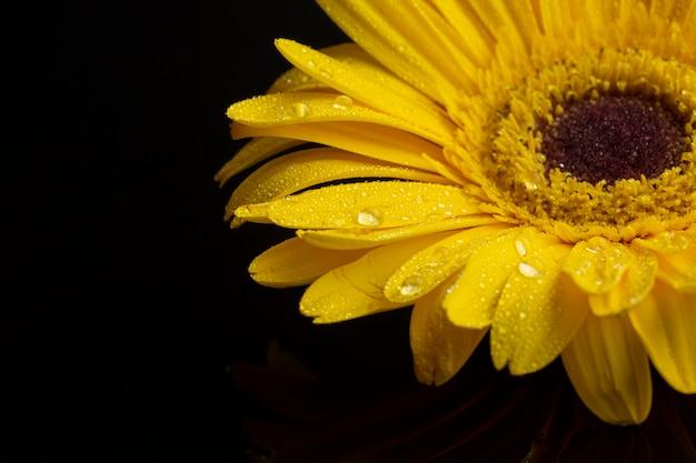 黄色のガーベラデイジーの花のクローズアップ
