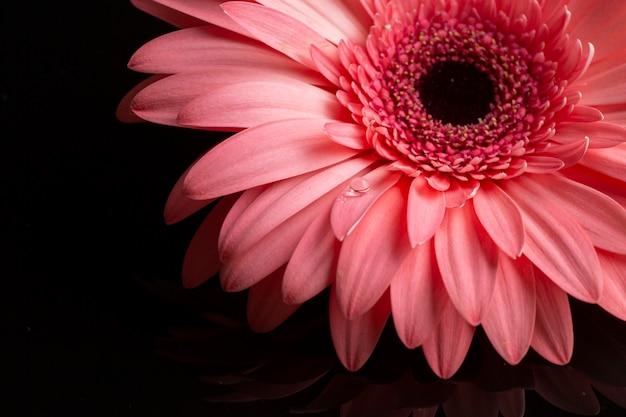 ピンクのガーベラの花びらのクローズアップ