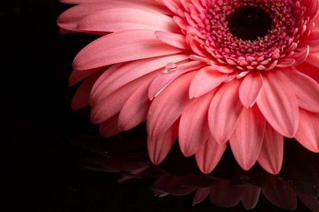 ピンクの色合いのガーベラの花びらのクローズアップ